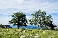 Two trees next to the cliff on the Cutted Path. Natural monument of Monte Santiago. Burgos. Castilla y León. Spain.