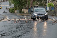 Gaggle of geese hold up the traffic to cross the road in reflected headlights on a rainy day in Caerphilly, Wales, UK.