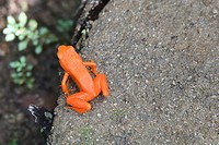 Golden mantella (Mantella aurantiaca) frog, Kirindy National Park, Madagascar.