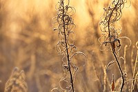 Frost covered withered grasses are illuminated by low winter sun. Västernorrland, Sweden.