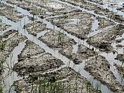 Rice fields. Delta del Ebro. Tarragona, Catalonia, Spain, Europe.