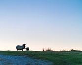 Sheep at sunset, MOC Montaña Oriental Costera, NATURA 2000, Cantabria, Spain, Europe.