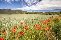 Crops near Canet d'Adri village, Girona, Spain.