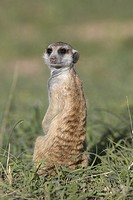 Suricate (Suricata suricatta). Always alert to the possible attack of a predator. While watching the rest of the group is dedicated to hunt all kinds ...