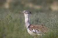 Kori bustard (Ardeotis kori), in the bush, Kgalagadi Transfrontier Park, Kalahari desert, South Africa/Botswana.
