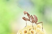 European Mantis or praying mantis (Mantis religiosa), Benalmadena, Malaga province, Andalusia, Spain.