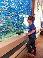 A boy looks at anchovies swimming in a tank at an aquarium in Newport, Oregon, USA.