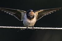 Germany, Saarland, Bexbach - A barn swallow is sitting on a fence.