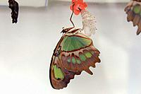 A Malachite butterfly hanging upside down after emerging from its cocoon.