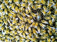 Queen and worker bees on comb. Apis Melifera.