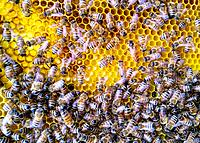 Honeybees on comb, with queen visible in upper right of image.
