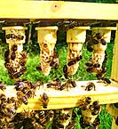 A frame of queen cells in a queen rearing apiary.