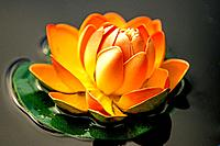water lily, artificially in a barrel.