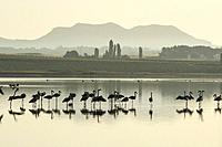 Greater flamingos (Phoenicopterus roseus). Reserva Natural de la Laguna de Pétrola, Albacete province, Castile-La Mancha, Spain