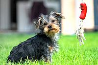 A Yorkshire Terrier puppy at play.