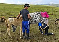 Young man brings foal to a mare to reassure her during milking, Mongolia.
