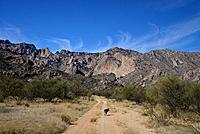 A Blue Heeler hikes a dirt road in Mendoza Canyon, Coyote Mountains Wilderness Area, Sonoran Desert, Arizona, USA, .