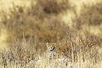 Cheetah (Acinonyx jubatus). Cub. Kalahari Desert, Kgalagadi Transfrontier Park, South Africa.