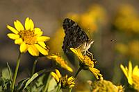 Butterfly on sunflowers near Old East Entrance Station, Theodore Roosevelt National Park-South Unit, North Dakota.