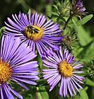 Canada, Quebec, wildflowers, wasp,.