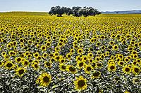 Sunflower field in in backlight over clean blue sky with holm oak tres in the middle, Badajoz, Extremadura, Spain.