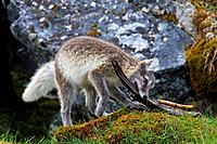 Arctic fox / white fox / polar fox / snow fox (Vulpes lagopus / Alopex lagopus) young playing with bird wing on the tundra