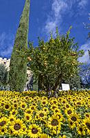 Sunflowers and Pomegranate (Punica granatum) Tree in the Gardens of Trauttmansdorff Castle, Merano, South Tirol, Italy, Europe.