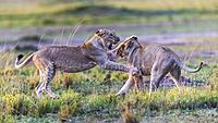 lionesses play fighting in Masai Mara National Reserve, Kenya.