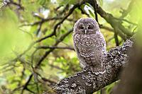 Tawny owl (Strix aluco), young perched on branch, Trier, Rhineland-Palatinate, Germany.