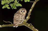 Tawny owl (Strix aluco), young perched on branch at night, Trier, Rhineland-Palatinate, Germany.