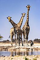 Group of Giraffe at Onkolo Hide, Onguma Game Reserve, Namibia, Africa.