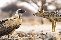 Black-backed Jackal (Canis mesomelas) and White-backed Vulture (Gyps africanus) - Onkolo Hide, Onguma Game Reserve, Namibia, Africa.