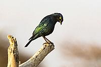 Cape glossy starling (Lamprotornis nitens) - Onkolo Hide, Onguma Game Reserve, Namibia, Africa.