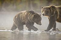 Grizzly bear (Ursus arctos)- Family hunting for spawning sockeye salmon along shore of the Chilko River, Chilcotin Wilderness, BC Interior, Canada.