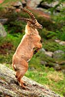 Ibex (Capra ibex) fighting in spring in the Gran Paradiso national park. Italy.