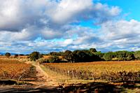 Fall colors of the vineyards of the Domaine la Baume in Servian, France line a vineyard access road,.