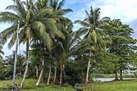 Coconut tress at Kampung Satok, Kuching, Sarawak, East Malaysia.