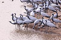 Asia, India, Rajasthan, Thar desert, Kichan, village of the Marwari Jain communuty, have been feeding every winter since 1970 the Demoiselle cranes (G...