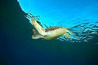 Green sea turtle (Chelonia mydas) swim under surface of water.