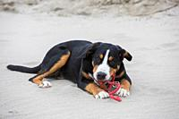 Young Greater Swiss Mountain Dog / Grosser Schweizer Sennenhund lying in sand on the beach and chewing on rope leash