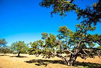 dry field with argan trees in Maroc