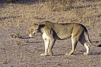 African lion (Panthera leo), lioness walking, evening light, Kgalagadi Transfrontier Park, Northern Cape, South Africa, Africa.