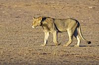 African lion (Panthera leo), young male walking, evening light, Kgalagadi Transfrontier Park, Northern Cape, South Africa, Africa.