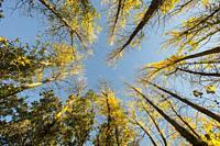 Autumn forest. Canadian poplars (Populus x canadensis). Almansa. Albacete province. Spain.
