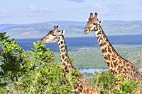 Maasai giraffe couple, male and female (Giraffa camelopardalis tippelskirchi) Akagera National Parc, Rwanda, Africa.