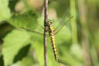 Black-tailed skimmer (Orthetrum cancellatum), female sitting on stalk, Mattheiser forest, Trier, Rhineland-Palatinate, Germany.