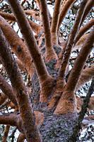 """SCOTS PINE (Pinus sylvestris), Parque Natural """"""""Laguna Negra y Circos Glaciares de Urbión"""""""", Soria province, Castilla y Leon, Spain, Europe."""