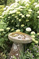 Lichen covered curved stone sculpture nestling under curved white blossom florets in the gardens of Frampton on Severn, the Cotswolds, England.