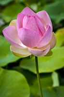 Sacred Lotus Nelumbo nucifera.