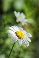 Argyranthemum MONROE WHITE 'ARGYMONWI'.